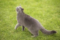 Breve gatto blu inglese fotografia stock libera da diritti
