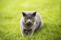 Breve gatto blu inglese immagini stock