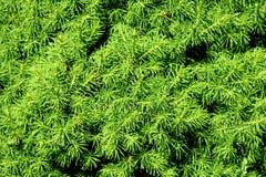 Breve modello delle conifere Fotografia Stock
