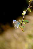 Brevedins blue butterfly. Brevedins blue butterfly on the end of a twig Royalty Free Stock Photography