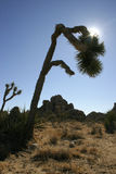 Brevifolia de Joshua Tree Yucca no parque nacional Joshua Tree Foto de Stock Royalty Free