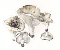 Brevipes var сыроежки гриба. acrior Стоковые Изображения RF