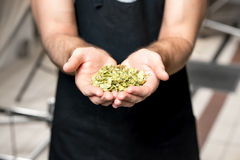 Brewer with hop Royalty Free Stock Image