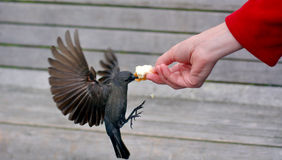 Free Brewer S Blackbird Eats Bread From A Hand Of A Woman Royalty Free Stock Images - 56751929