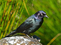 Brewer's Blackbird(Euphagus cyanocephalus) royalty free stock images