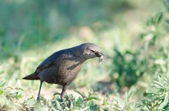 Brewer's Blackbird (Euphagus cyanocephalus) Stock Photography