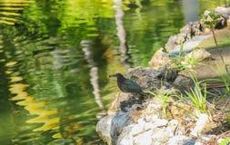 The Brewer`s blackbird Euphagus cyanocephalus is a medium-sized New World blackbird royalty free stock photo