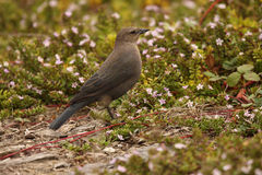 Brewer's Blackbird Among Flowers Royalty Free Stock Photos