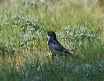 Brewers blackbird in grass Stock Image