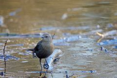 Free Brewer`s Blackbird Perches On A Branch In A Flooded Pond In The Morning Light Of Winter Royalty Free Stock Photos - 147256018