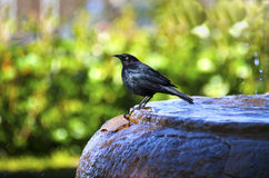 Brewer's Blackbird on Water Fountain Stock Photography