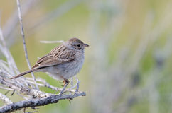 Brewer's Sparrow (Spizilla breweri) Royalty Free Stock Images