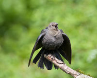 Brewers Blackbird Royalty Free Stock Photography