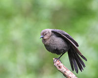 Brewers Blackbird Royalty Free Stock Image