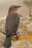 Brewers Blackbird On Rock. A Brewers Blackbird perched on a lichen-covered rock in coastal California Stock Photo