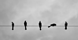 Brewers Blackbirds on Wire. RnFive Brewer's Blackbirds on a wire.rnrnrn royalty free stock images