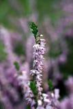 Brezo (Calluna vulgaris) Fotos de archivo