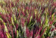 Brezo colorido del brote - Calluna vulgaris Imagen de archivo