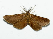 Brezo común, atomaria de Ematurga, polilla, Geometridae Imagen de archivo