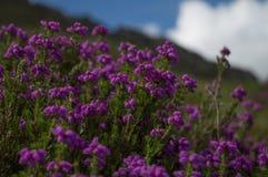 Brezo de Bell púrpura hermoso en la plena floración foto de archivo libre de regalías