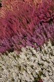 Brezo de cuatro colores Foto de archivo
