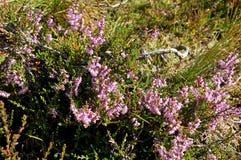 Brezo del pantano en verano Imagen de archivo
