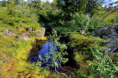 Brezo del pantano en verano Fotografía de archivo