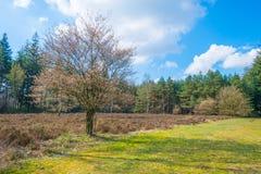 Brezo en un bosque del pino en primavera Imágenes de archivo libres de regalías