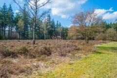 Brezo en un bosque del pino en primavera Imagenes de archivo