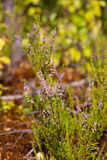 Brezo floreciente Foto de archivo libre de regalías