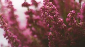 Brezo gracilis del invierno de Erica de la cantidad en flor lleno almacen de metraje de vídeo