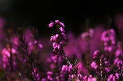 Brezo, o ling (calluna vulgaris). Imágenes de archivo libres de regalías
