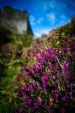Brezo púrpura delante del castillo de Tioram, lago Moidart, Lochaber imágenes de archivo libres de regalías
