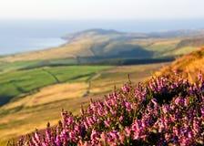 Brezo púrpura floreciente, campos, mar Isla de Man Fotografía de archivo