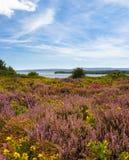 Brezo púrpura y rosado en la tierra de Dorset cerca del puerto de Poole Foto de archivo libre de regalías