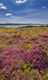 Brezo púrpura y rosado en la tierra de Dorset cerca del puerto de Poole Imagen de archivo libre de regalías