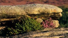 Brezo que crece en rocas. Imágenes de archivo libres de regalías