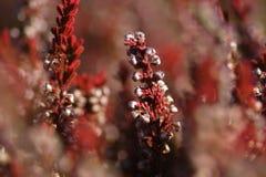 Brezo rojo - Erica Imagenes de archivo
