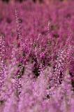 Brezo rosado Fotografía de archivo libre de regalías