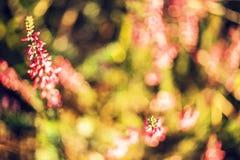 Brezos rosados Fotos de archivo