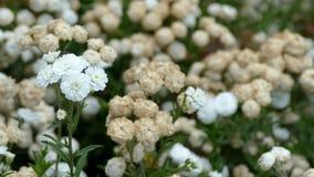 Brezza che soffia i fiori bianchi del ptarmica di Achillea la perla archivi video