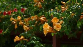 Brezza che soffia i fiori bianchi del tromba-rampicante video d archivio