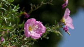 Brezza che soffia i fiori rosa ottimistici dell'enagra rosa video d archivio