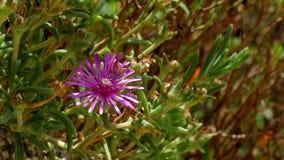 Brezza che soffia i fiori rosso-porpora lucidi di Hardy Ice Plant video d archivio