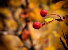 Briеr del arbusto del otoño, Bulgaria Foto de archivo libre de regalías