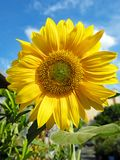 Bri Yellow Sunflower Growing in Tuin royalty-vrije stock foto's