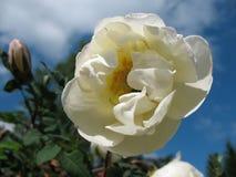 Briar épineux de floraison (spinosissima de Rosa) Photos stock