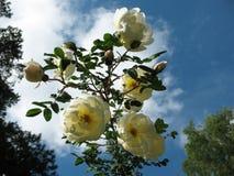 Briar épineux de floraison (spinosissima de Rosa) Photo stock
