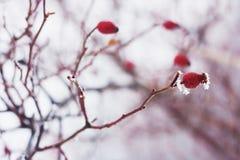 Briar που καλύπτεται με το χιόνι το χειμώνα Στοκ φωτογραφία με δικαίωμα ελεύθερης χρήσης