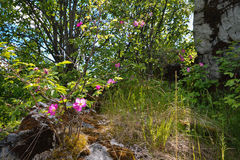 Briar στα βουνά Στοκ εικόνες με δικαίωμα ελεύθερης χρήσης